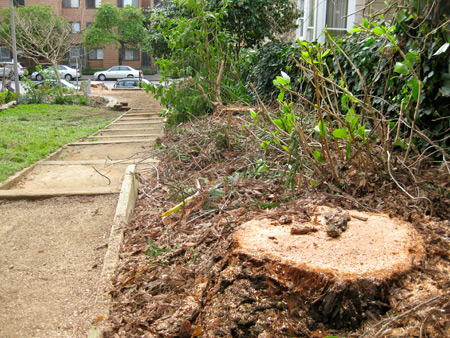 Five redwoods were cut in the mini-park at Cottage Row.